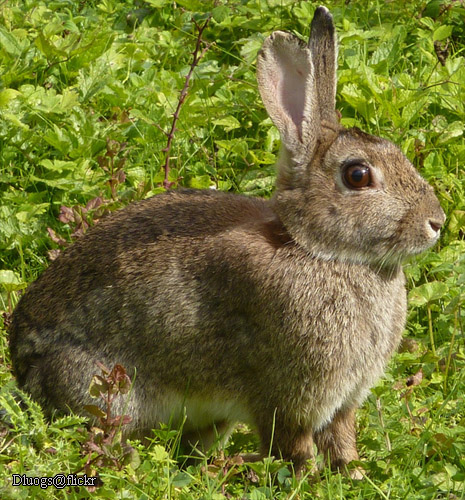 Hare vs jackrabbit - photo#5
