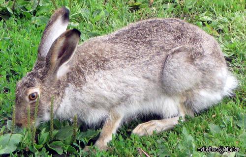 Hare vs jackrabbit - photo#15